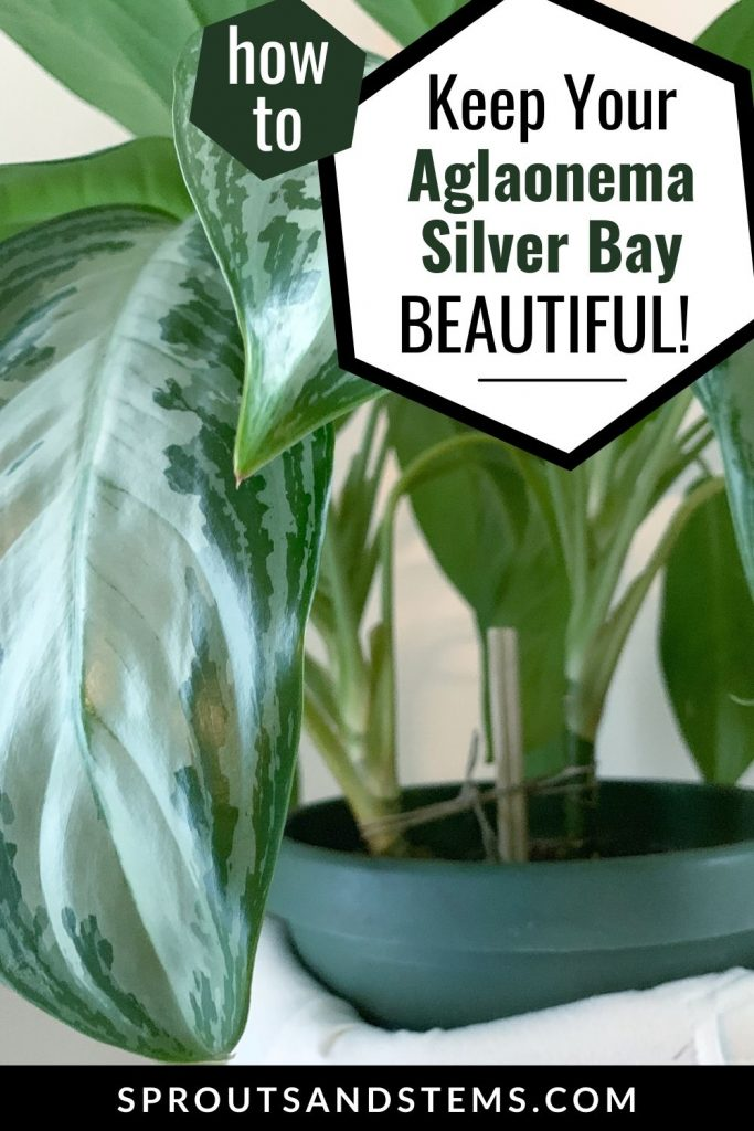 How to keep your Aglaonema Silver Bay beautiful - Pinterest Pin