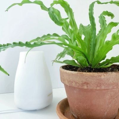 birds nest fern with humidifier