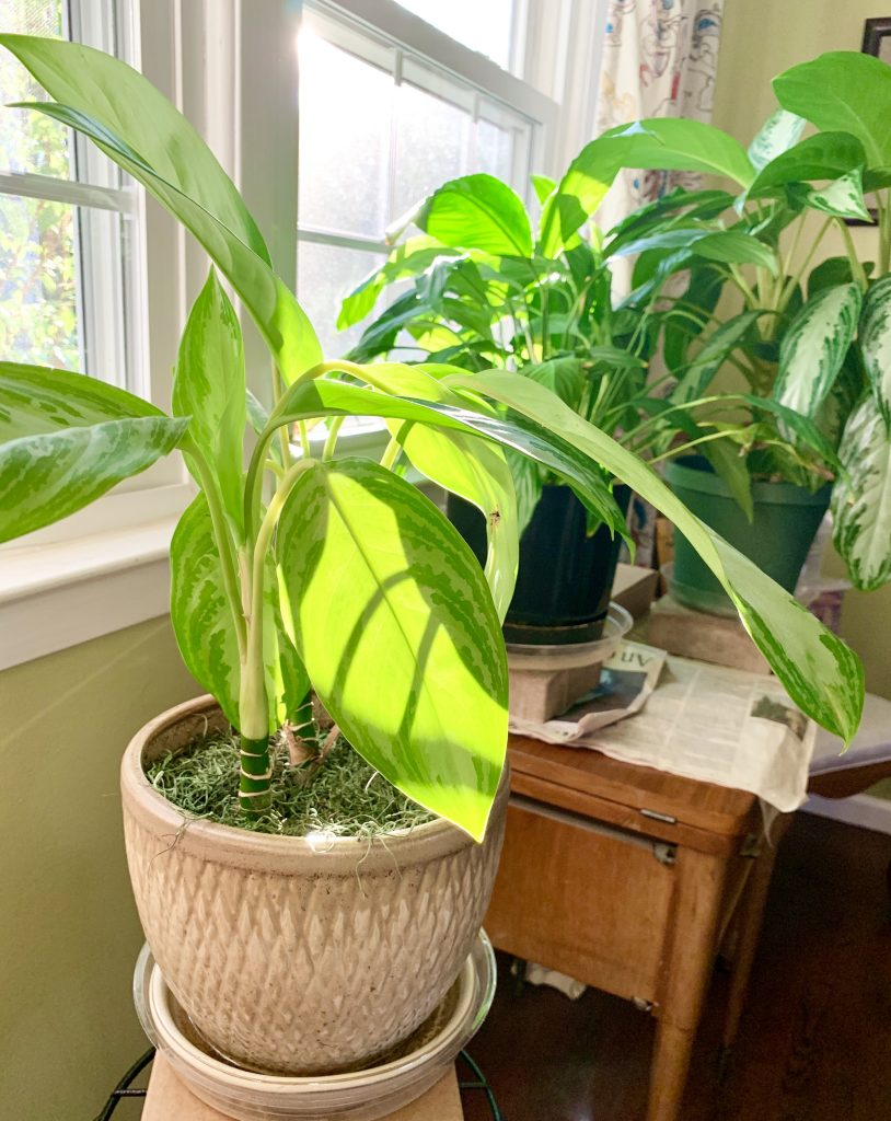 Natural light for indoor plants - plants in a south-facing window
