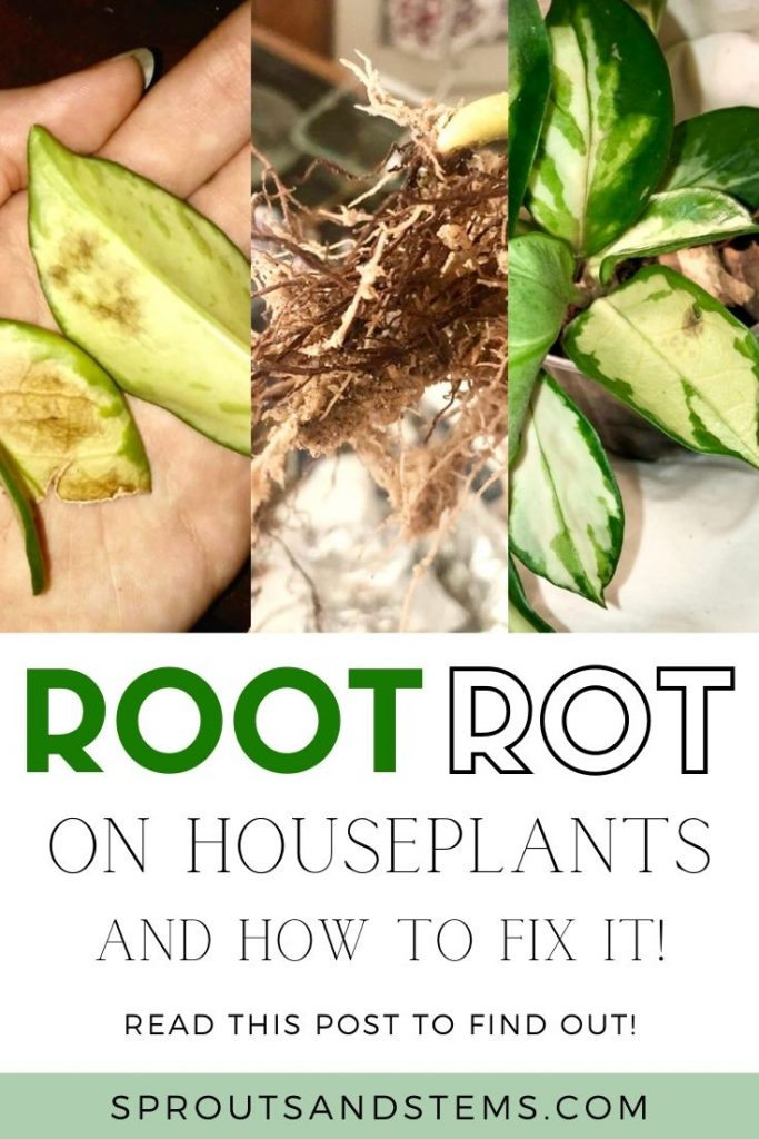 how to fix root rot pin