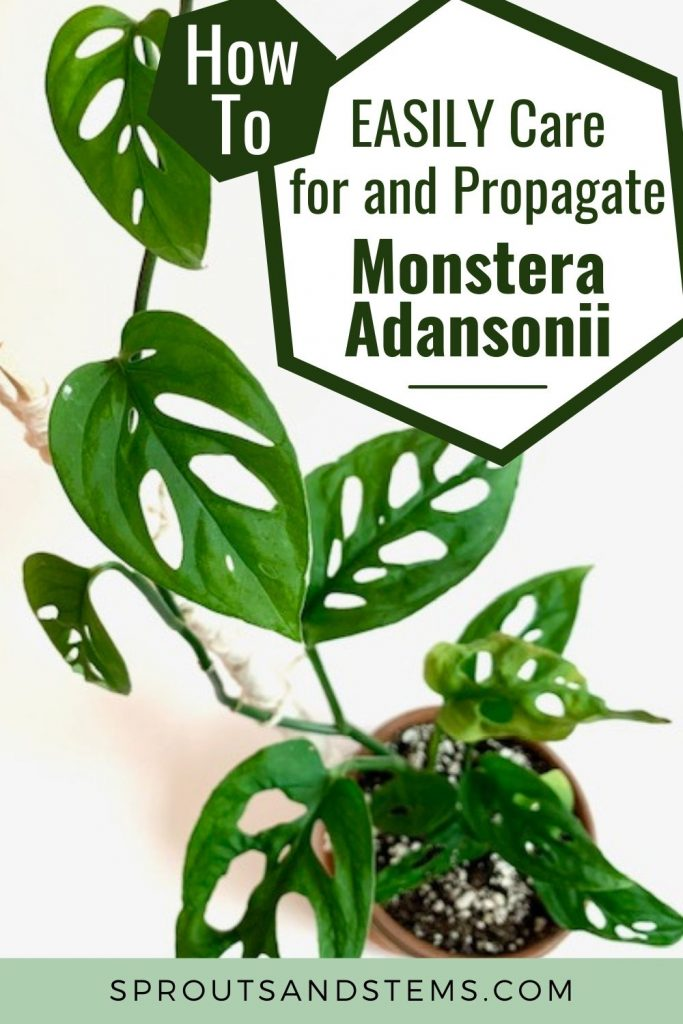 How to care for and propagate Monstera adansonii Pinterest pin