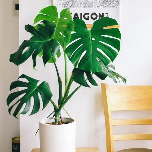 Monstera deliciosa care