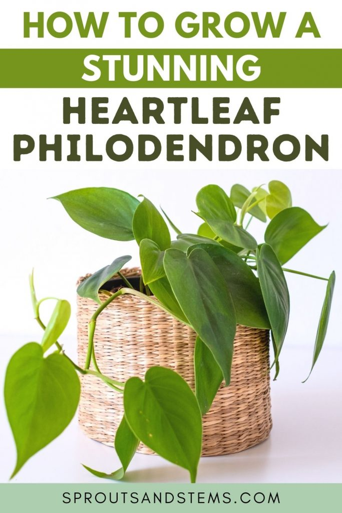 heartleaf philodendron pinterest pin