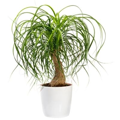 ponytail palm care post