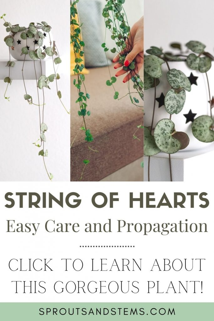String of hearts care and propagation guide