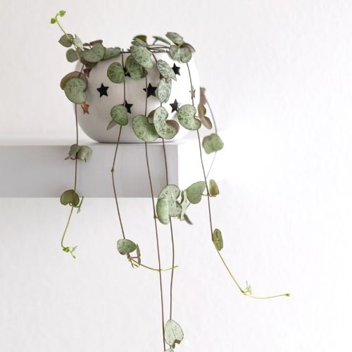 string of hearts plant on a table