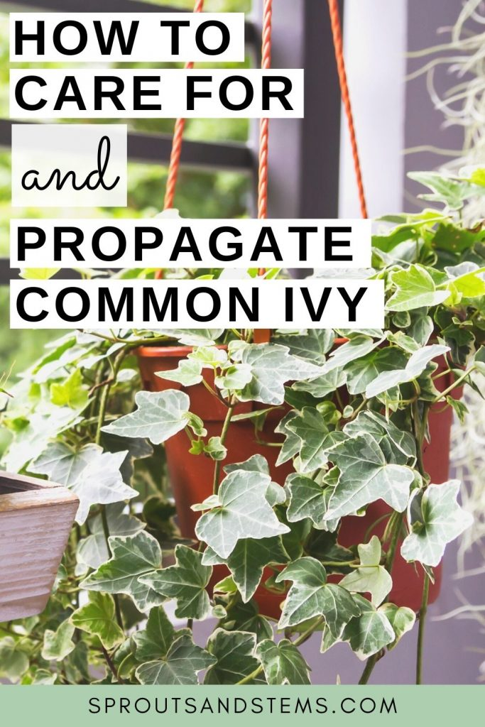 Common Ivy Care and Propagation Pinterest Pin