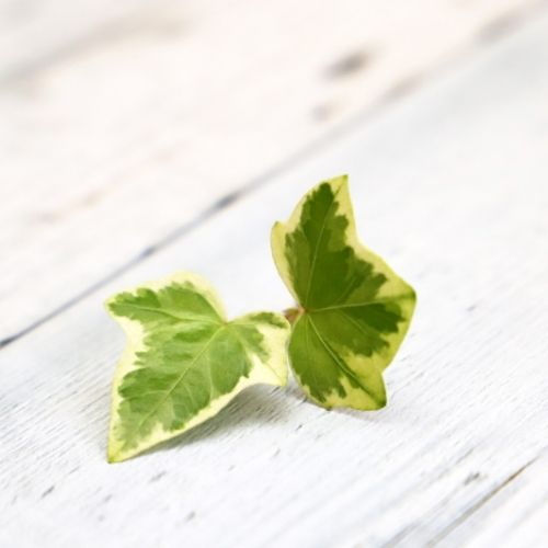 common ivy leaves