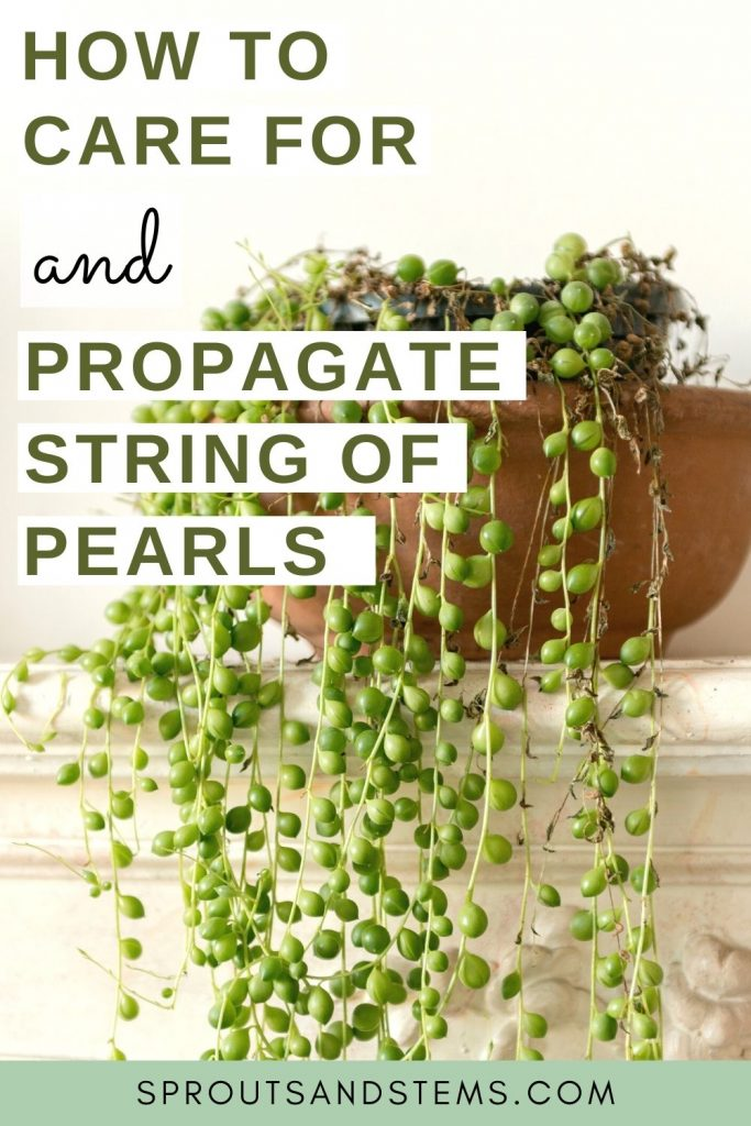 String Of Pearls Care And Propagation Sprouts And Stems