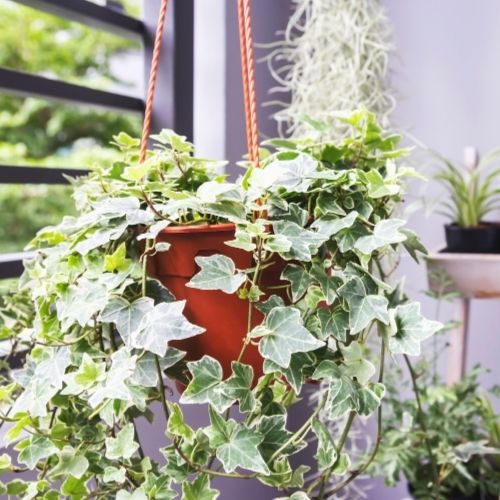common ivy plant in hanging basket