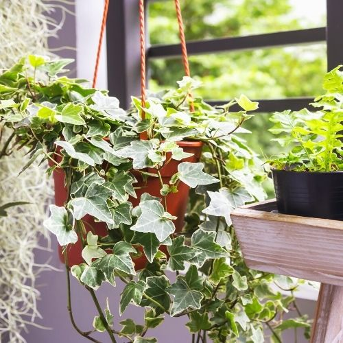 common ivy plant hanging in a basket