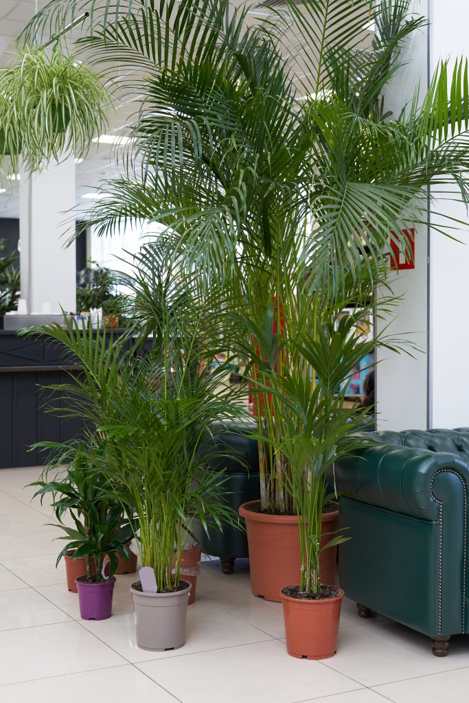 parlor palms in a living room