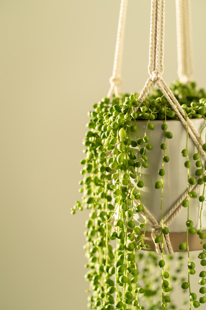 string of pearls plant in a hanging macrame planter