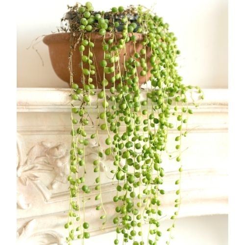 string of pearls plant on a shelf