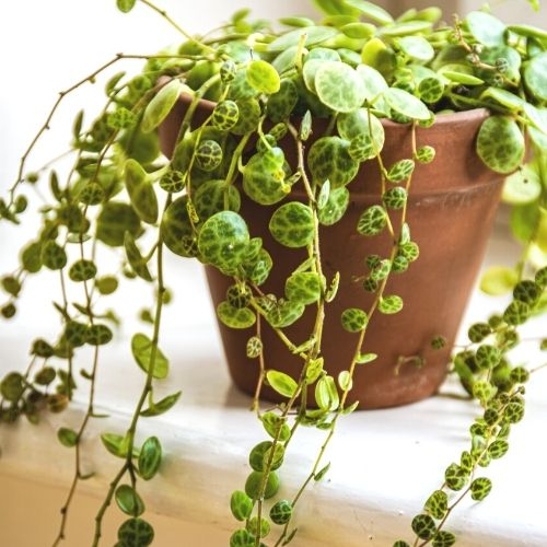 string of turtles plant on table