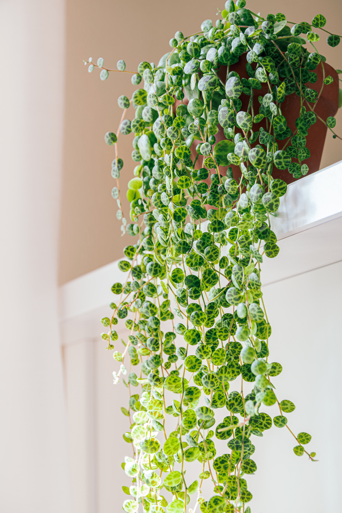 string of turtles plant cascading down a shelf