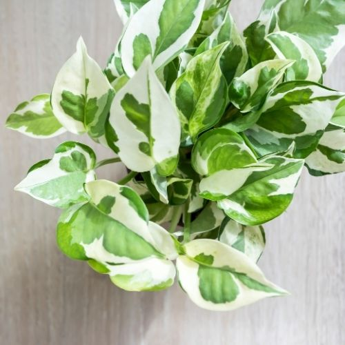 N'Joy Pothos: Care, Propagation, and More - Sprouts and Stems