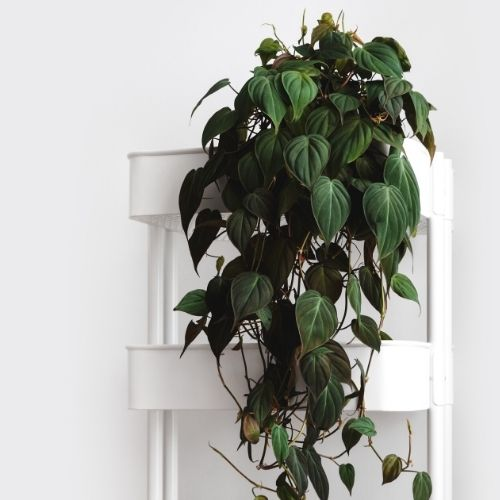 philodendron micans on a plant stand