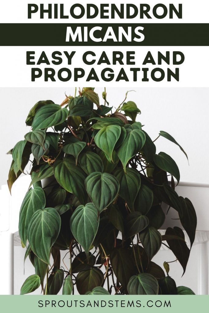 Philodendron Micans Care and Propagation Pinterest Pin