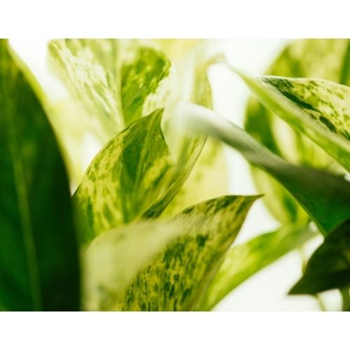 marble queen pothos leaves