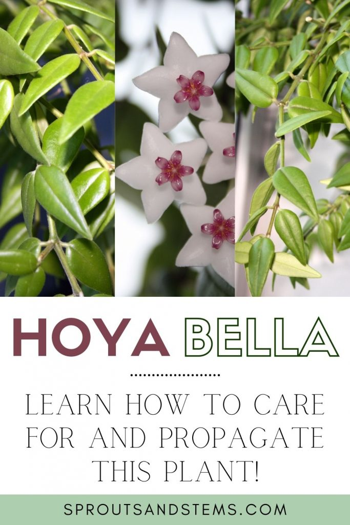 how to care for hoya bella pinterest pin