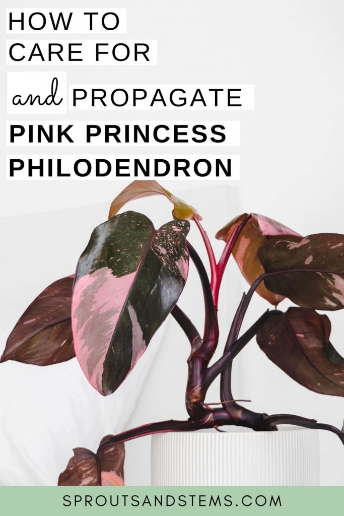 pink princess philodendron care and propagation pinterest pin