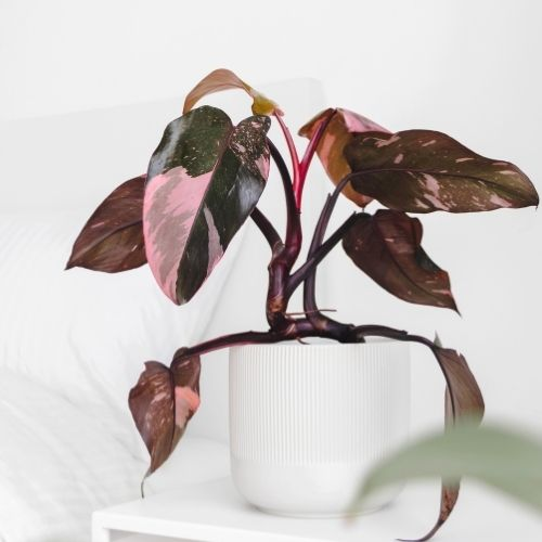 pink princess philodendron plant on table