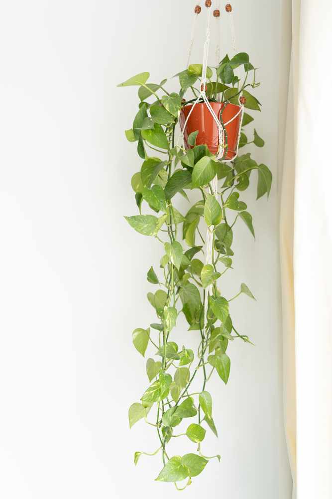pothos plant hanging down from a hanging basket