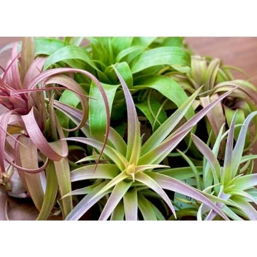 Air Plants Monthly Subscription Box