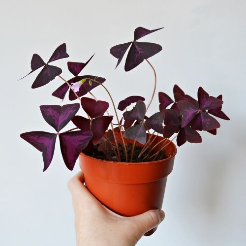 Hand holding a Oxalis triangularis potted plant