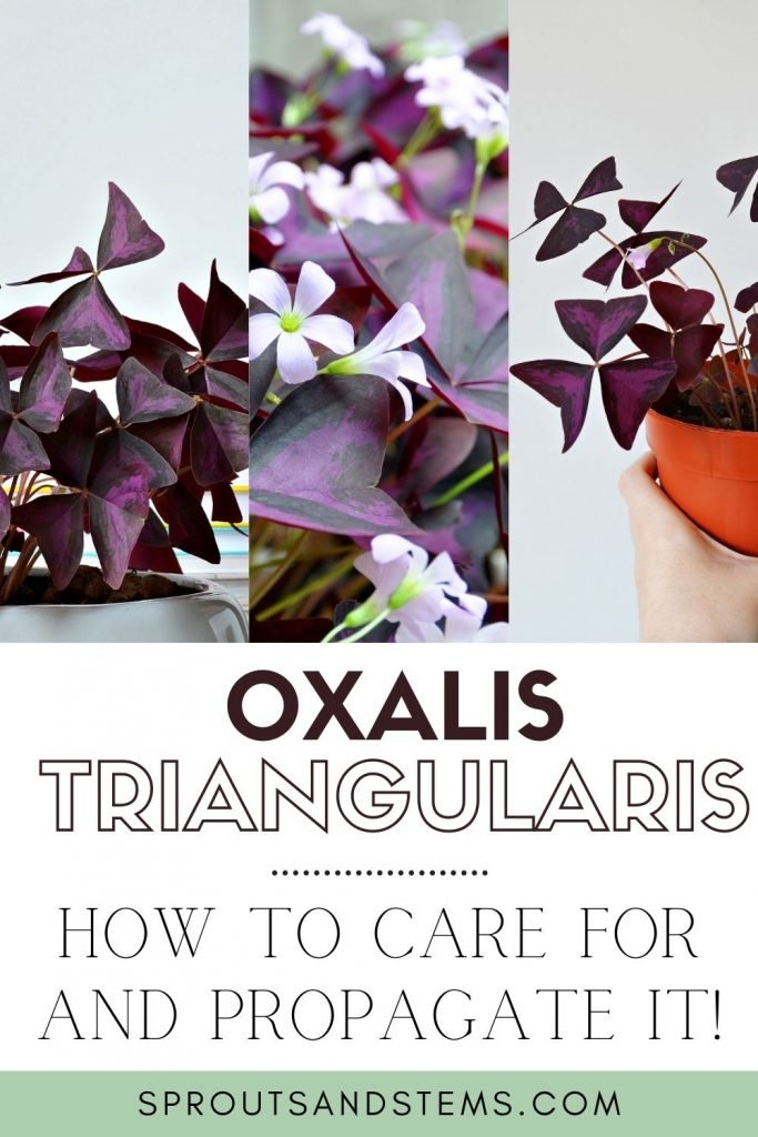 Oxalis triangularis care and propagation pinterest pin