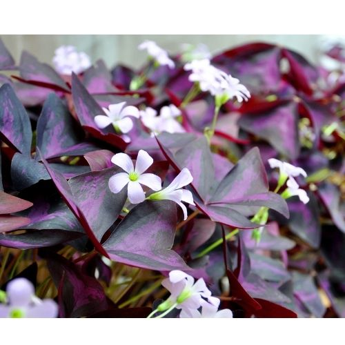 Oxalis triangularis flowers and leaves