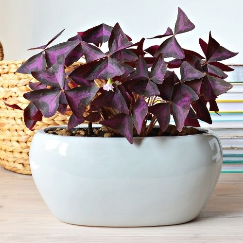 Oxalis triangularis potted plant