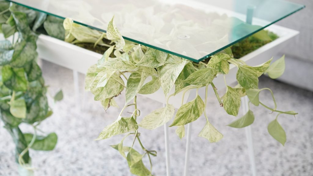pothos plants in a blooming table