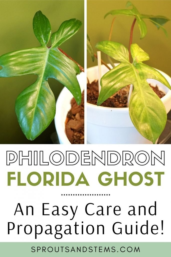Philodendron Florida Ghost care and propagation pinterest pin