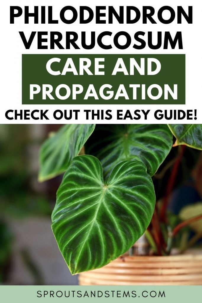 Philodendron verrucosum care and propagation pinterest pin