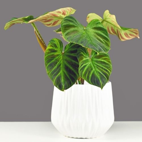 Philodendron verrucosum potted plant