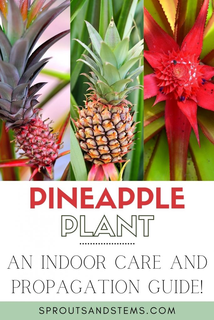 pineapple plant care and propagation pinterest pin
