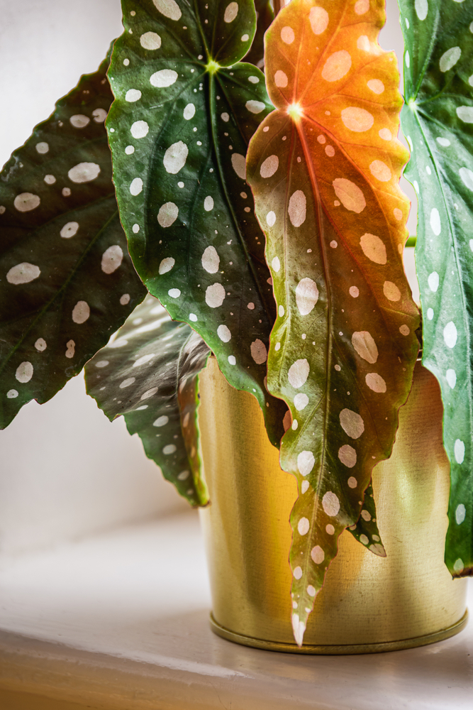 begonia Maculata in a gold pot and close up leaves