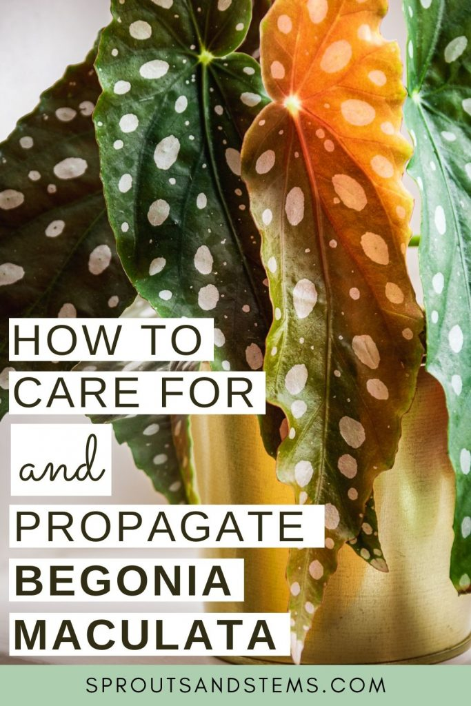 how to care for and propagate begonia maculata