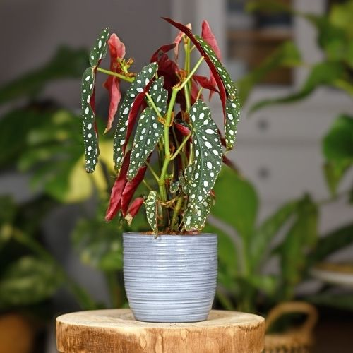 begonia maculata potted plant on table