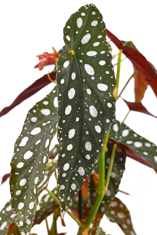 polka dot begonia plant lose up of leaves on a white background