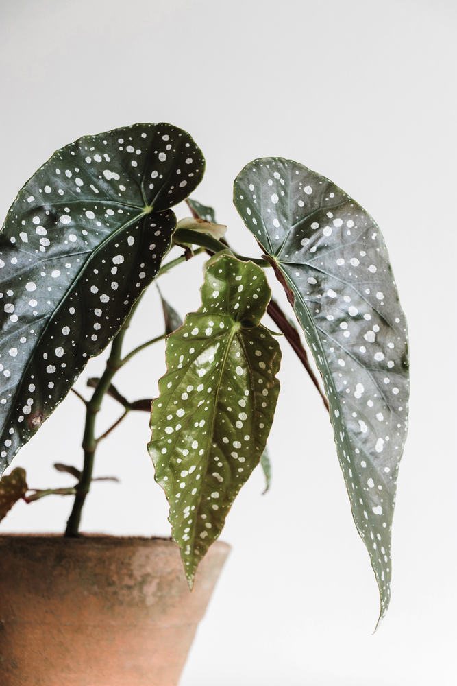 close up of three leaves on a polka dot begonia