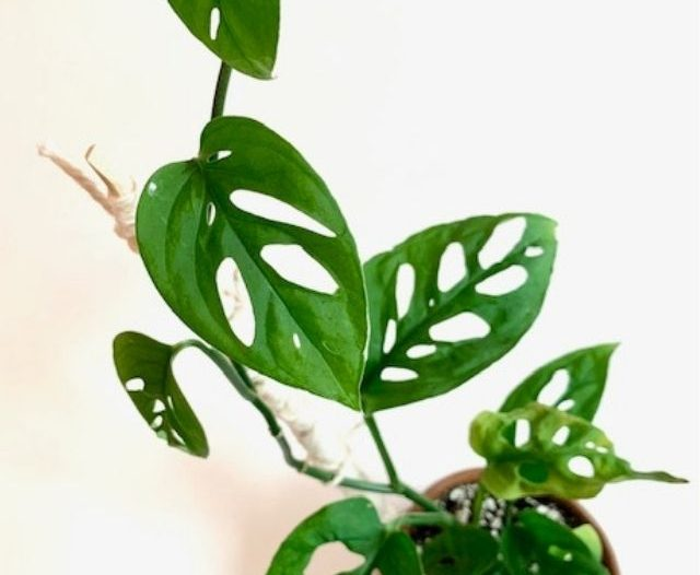 Monstera adansonii plant and leaves
