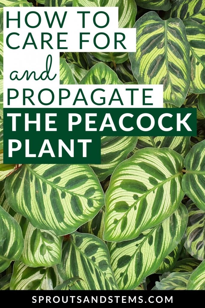 peacock plant care and propagation guide pinterest pin