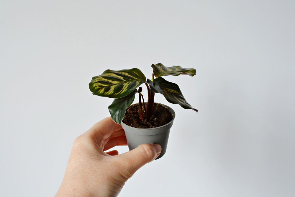 a hand holding a small peacock plant
