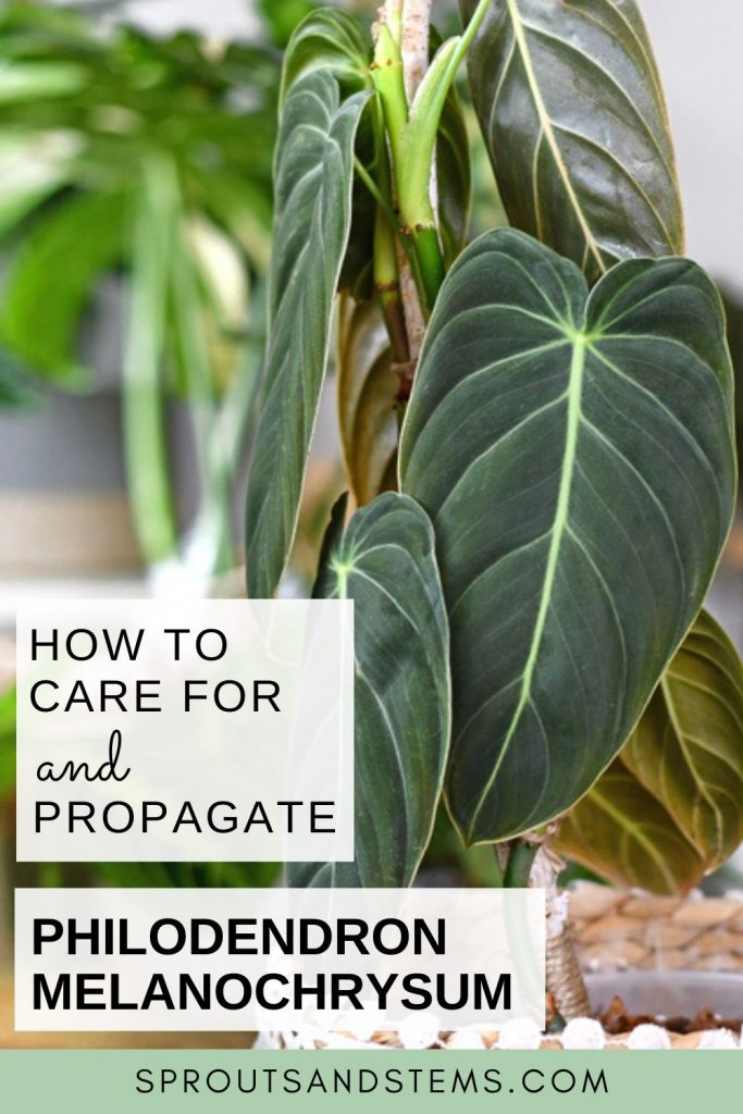 Philodendron Melanochrysum care and propagation pinterest pin
