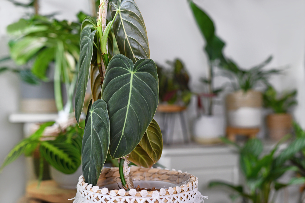 Philodendron Melanochrysum potted plant