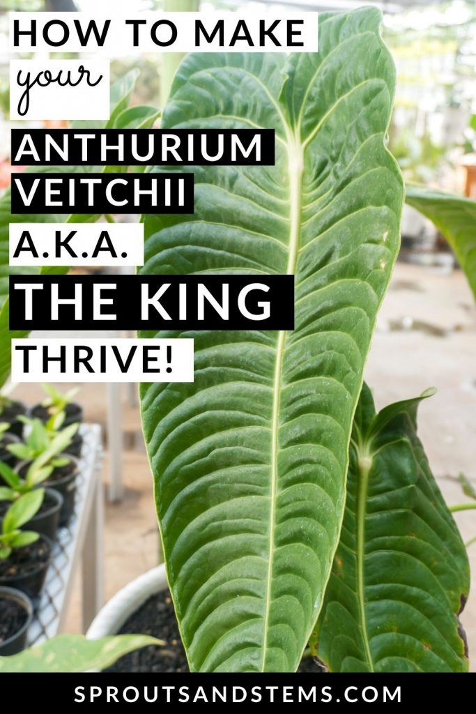 How to make your Anthurium Veitchii a.k.a. The King thrive - Pinterest pin