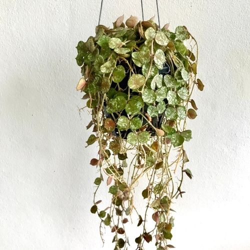 Hoya Curtisii in a hanging basket on a white background